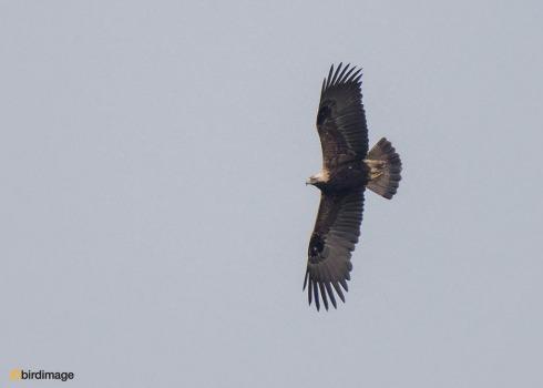 Keizerarend - Eastern Imperial Eagle 09