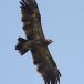 keizerarend-eastern-imperial-eagle-03