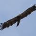 keizerarend-eastern-imperial-eagle-07