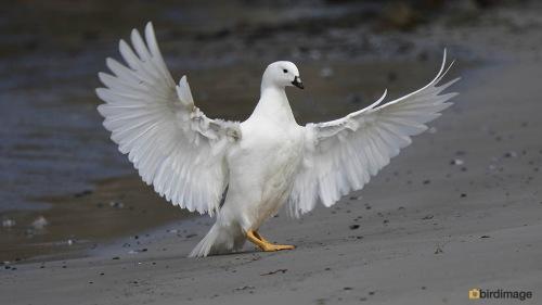 Kelpgans_Kelp Goose 05