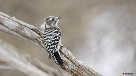 Kizukispecht -  Japanese pygmy woodpecker 03