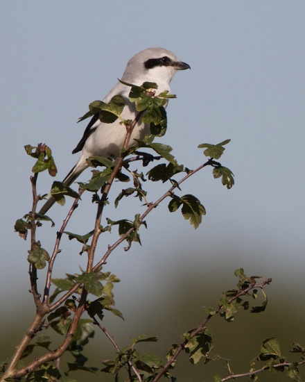 klapekster-northern-grey-shrike-06