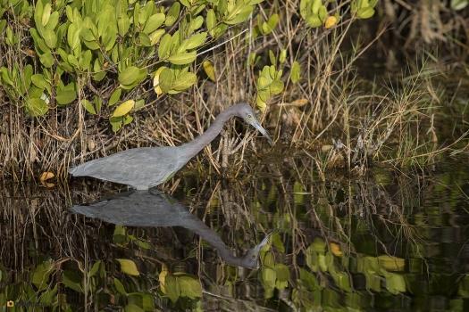 Kleine blauwe reiger - Little bleu heron 005