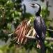 kleine-bonte-aalscholver-little-pied-cormorant-02