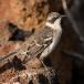 Kleine Galapagos spotlijster – Galapagos Mockingbird