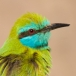 Kleine Groene Bijeneter – Green Bee-eater