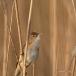 kleine-karekiet-reed-warbler-01