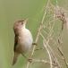kleine-karekiet-reed-warbler-02