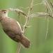 kleine-karekiet-reed-warbler-03