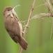 kleine-karekiet-reed-warbler-04