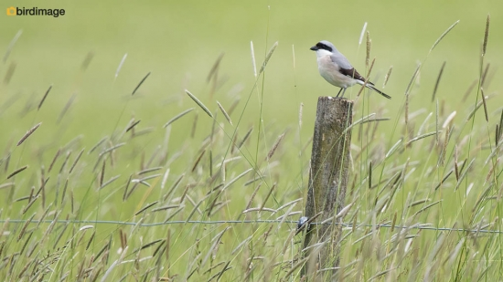 Kleine klapekster - Lesser Grey Shrike 05