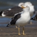kleine-mantelmeeuw-lesser-black-backed-gull-03