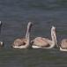 kleine-pelikaan-pink-backed-pelican-03