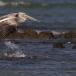 kleine-pelikaan-pink-backed-pelican-06