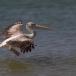 kleine-pelikaan-pink-backed-pelican-07