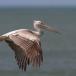 kleine-pelikaan-pink-backed-pelican-08