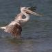 kleine-pelikaan-pink-backed-pelican-09