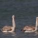 kleine-pelikaan-pink-backed-pelican-10