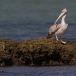 kleine-pelikaan-pink-backed-pelican-15