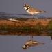 kleine-plevier-little-ringed-plover-02