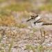 kleine-plevier-little-ringed-plover-13