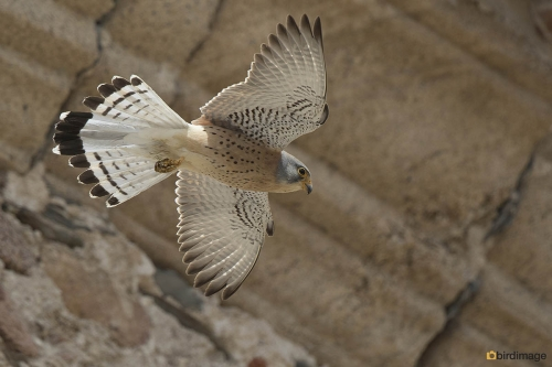 Kleine torenvalk - Lesser Kestrel 19