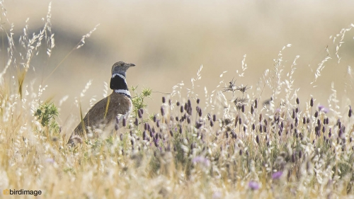 Kleine trap - Little Bustard 02