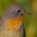 Kleine vliegenvanger – Red-breasted Flycatcher