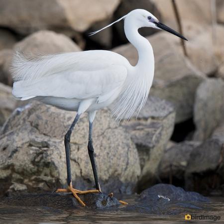 Kleine zilverreiger - Little Egret 16