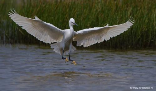 kleine-zilverreiger-little-egret-03