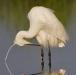 kleine-zilverreiger-little-egret-02
