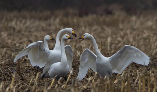 kleine-zwaan-tundra-swan-08-1