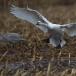 kleine-zwaan-tundra-swan-01-1