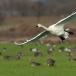 kleine-zwaan-tundra-swan-02