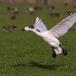 kleine-zwaan-tundra-swan-03
