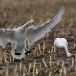 kleine-zwaan-tundra-swan-05-1