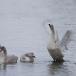 kleine-zwaan-tundra-swan-06