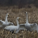 kleine-zwaan-tundra-swan-07-1
