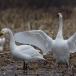 kleine-zwaan-tundra-swan-09-1