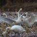 kleine-zwaan-tundra-swan-10