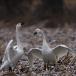 kleine-zwaan-tundra-swan-12