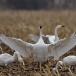 kleine-zwaan-tundra-swan-13-1