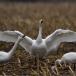 kleine-zwaan-tundra-swan-14-1