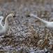 kleine-zwaan-tundra-swan-21