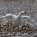 kleine-zwaan-tundra-swan-23