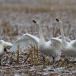kleine-zwaan-tundra-swan-24