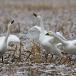 kleine-zwaan-tundra-swan-26