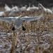 kleine-zwaan-tundra-swan-27