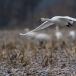 kleine-zwaan-tundra-swan-29