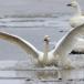 kleine-zwaan-tundra-swan-34